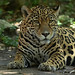 "<p><a href=""https://www.flickr.com/people/154721682@N04/"">Joseph Deems</a> posted a photo:</p>  <p><a href=""https://www.flickr.com/photos/154721682@N04/50736000898/"" title=""Jaguar""><img src=""https://live.staticflickr.com/65535/50736000898_320f960434_m.jpg"" width=""226"" height=""240"" alt=""Jaguar"" /></a></p>  <p>Fort Worth Zoo</p>"