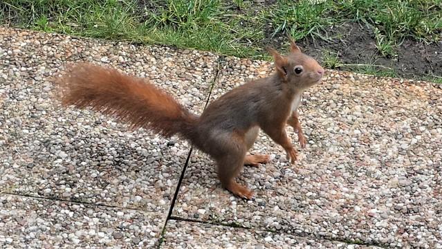 L'écureuil curieux sur la terrasse.
