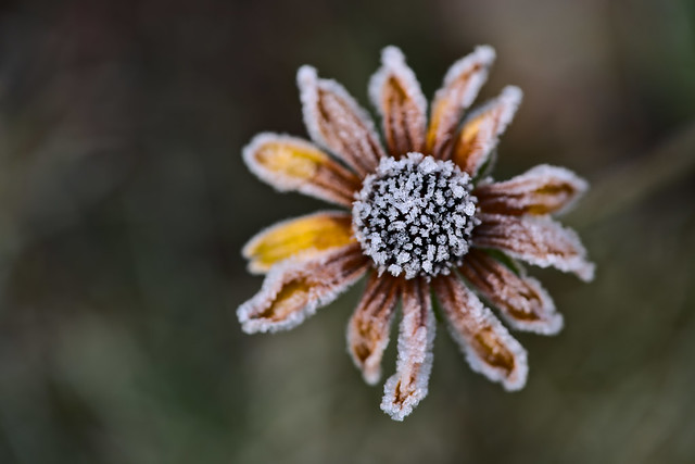 Rudbeckia in Winter