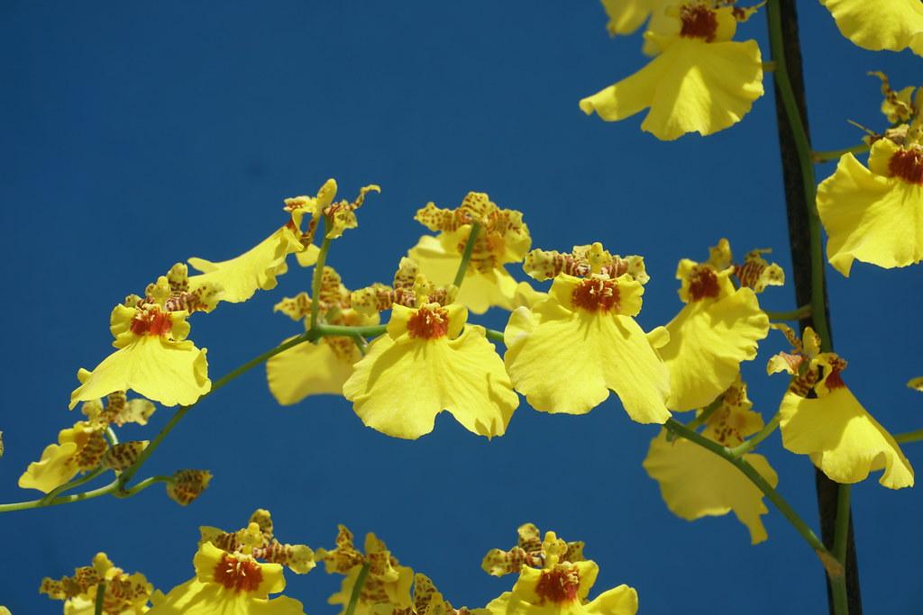 "Oncidium flexuosum (""Dancing Lady"") at home."