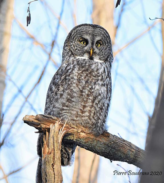 Chouette lapone - Great gray owl Mauricie Décembre - December 2020.