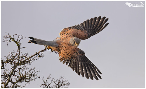 Kestrel | by Pete Walkden