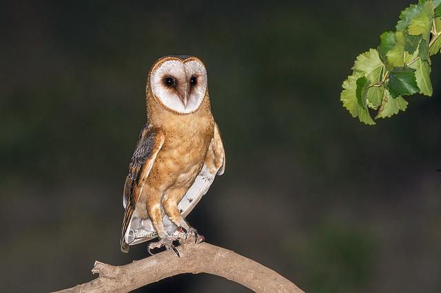 Tyto alba guttata, Τυτώ, Barn owl