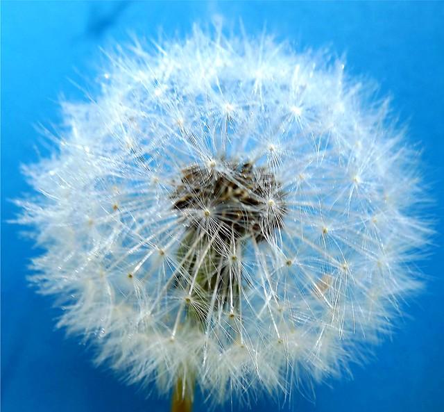 Dandelion in Blue