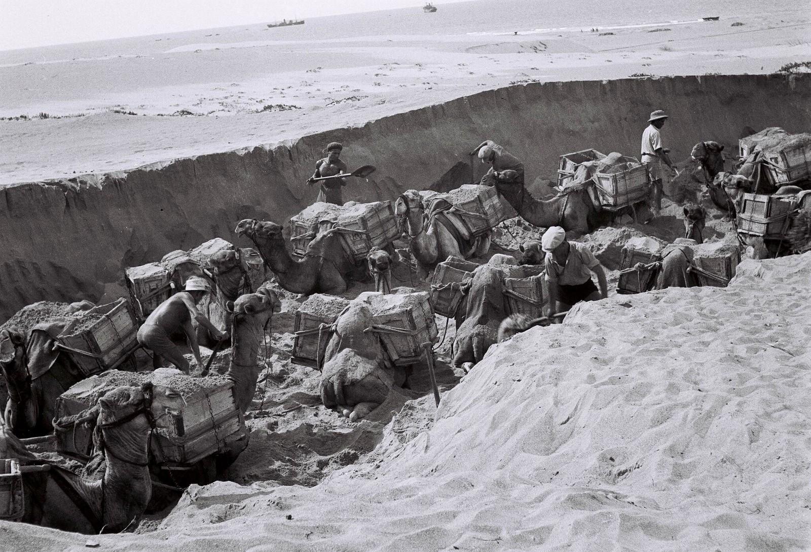 20. Еврейские рабочие загружают гравий с морского берега на вьючных верблюдов для перевозки на строительные площадки 1 августа в Бат-Яме