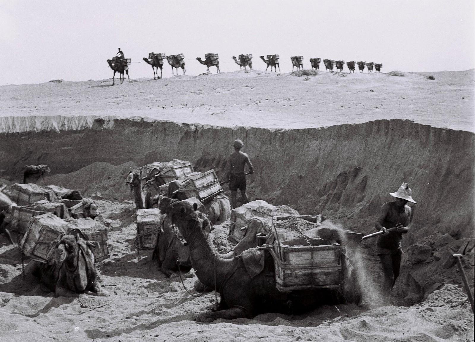 19. Еврейские рабочие загружают гравий с морского берега на вьючных верблюдов для перевозки на строительные площадки 1 августа в Бат-Яме  (2)