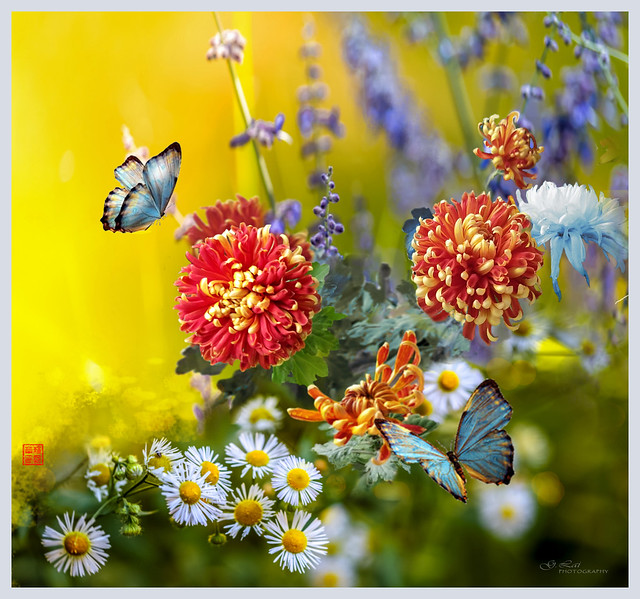 Chrysanthemums and butterfly