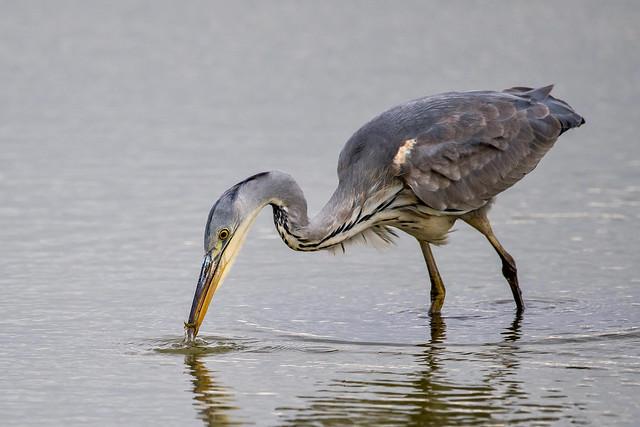 Grey Heron - Catching Sticklebacks