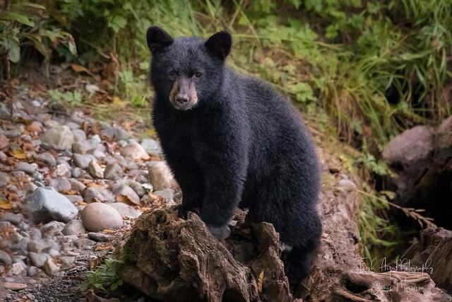 Vancouver Island Black Bear Cub (Ursus americanus vancouveri) - Northern Vancouver Island, BC