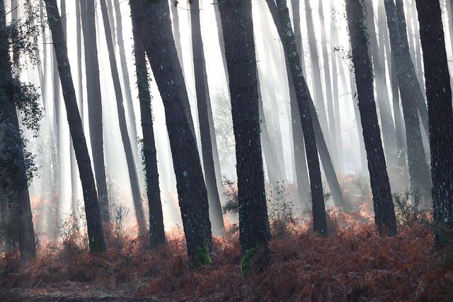 foret landaise dans le broullard - Landes forest in the fod