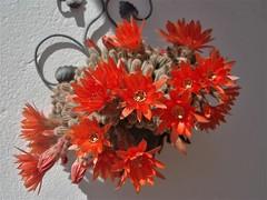 Cactus - Echinopsis Chamaecereus