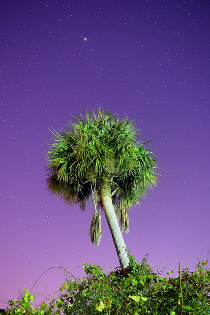 Cabbage Palm on Starbase 11