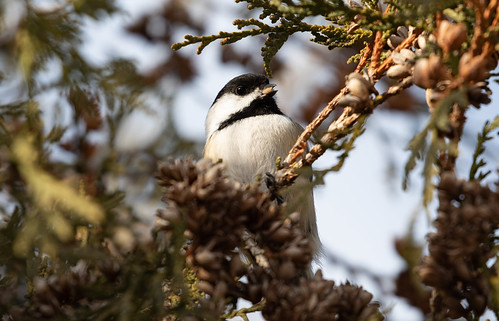 Black-capped Chickadee in Northern White-Cedar