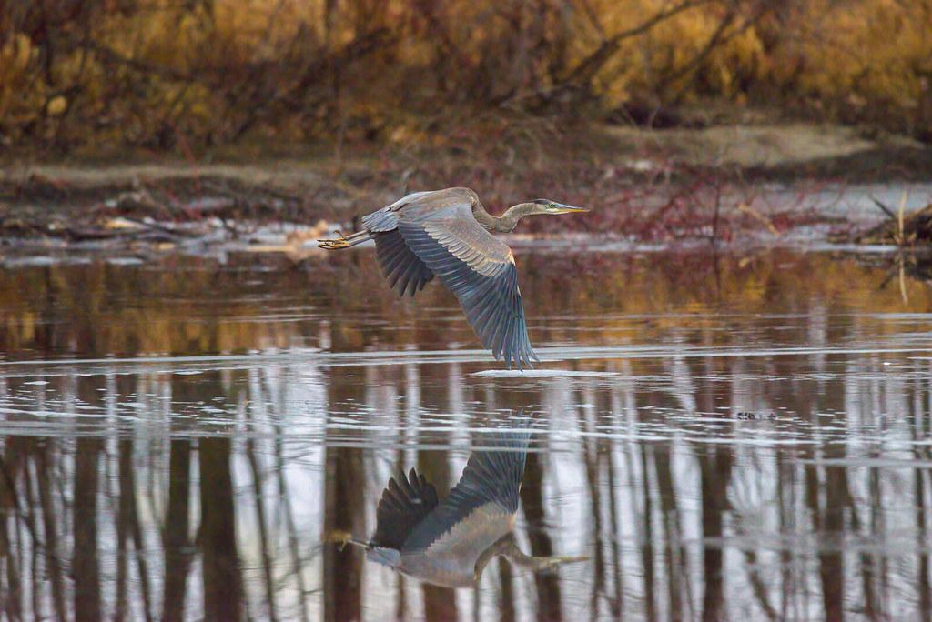 Great Blue Heron   Bird in Flight