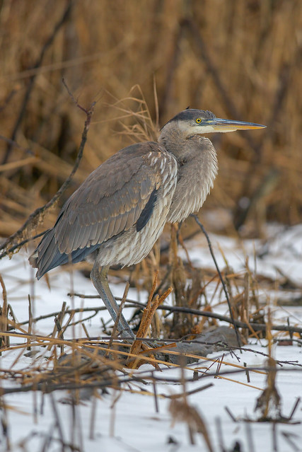 Great Blue Heron | Motionless Observer