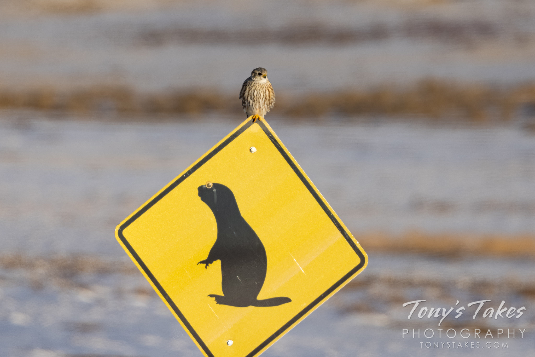 A prairie merlin hangs out at the Rocky Mountain Arsenal National Wildlife Refuge. (Tony's Takes)