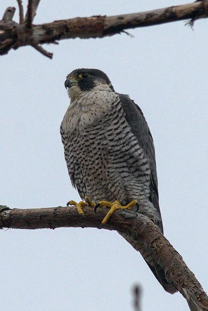Peregrine Falcon | Nature's awesomeness