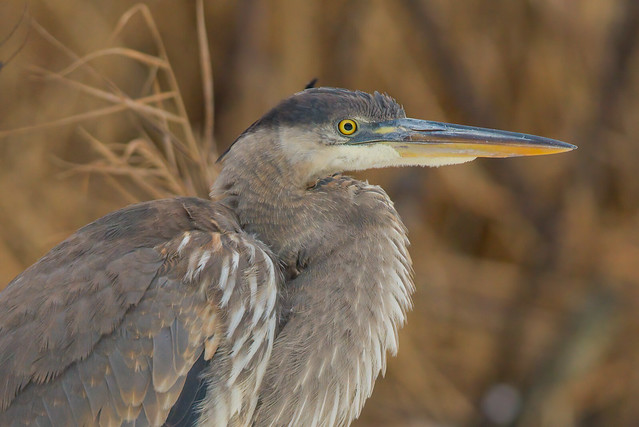 Great Blue Heron Portraiture