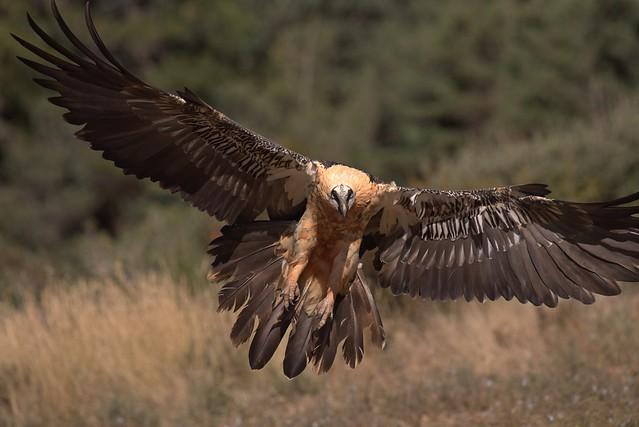Quebra-ossos, Bearded vulture,  (Gypaetus barbatus)
