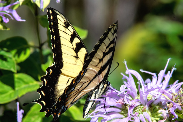 2018 Eastern Tiger Swallowtail (Pterourus glaucus) 28