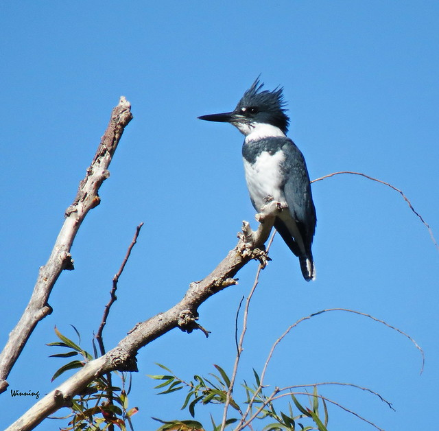 Belted Kingfisher 0968-14