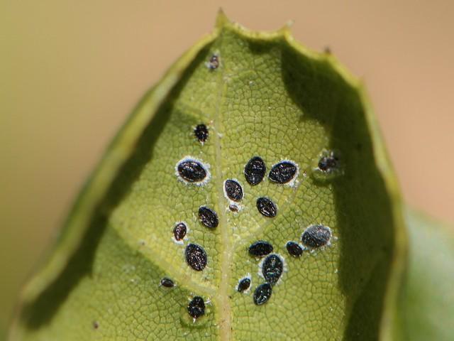 Scale-like pupae of a Whitefly (Aleyrodidae) on an oak leaf