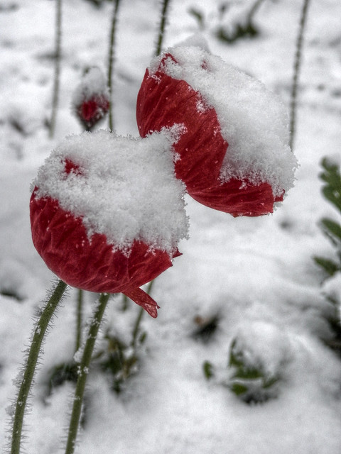 Mohn im Schnee