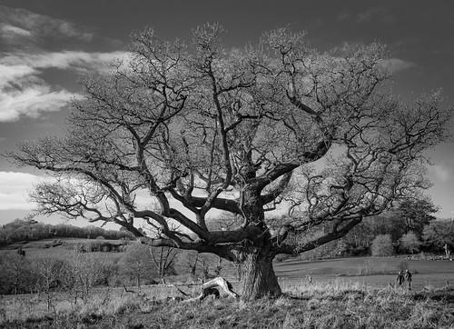 Oak tree at Ashton Court