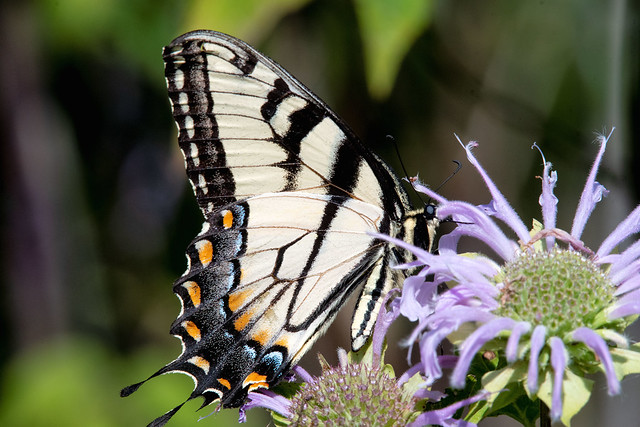 2018 Eastern Tiger Swallowtail (Pterourus glaucus) 26