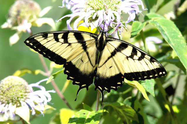 2018 Eastern Tiger Swallowtail (Pterourus glaucus) 25