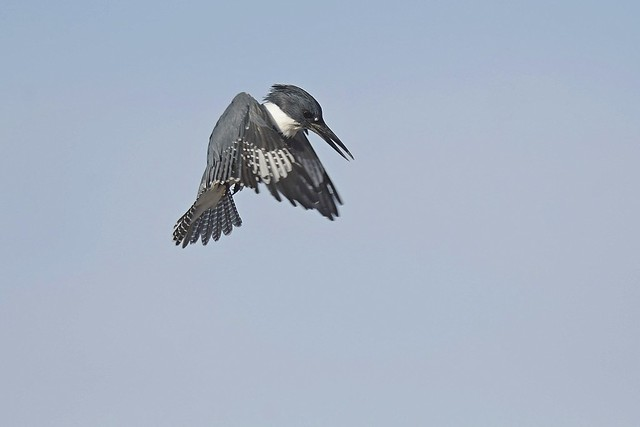 Hovering Belted kingfisher sequence 5