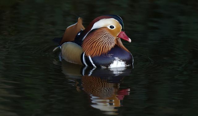 Mandarin Duck : right profile (Explore)