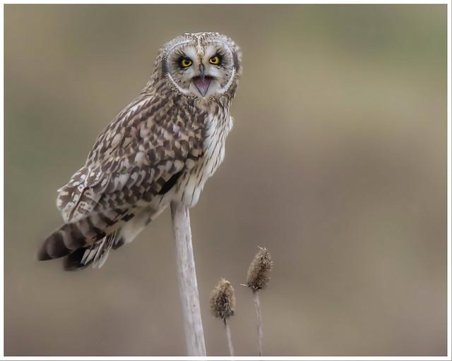 Short Eared Owl posing