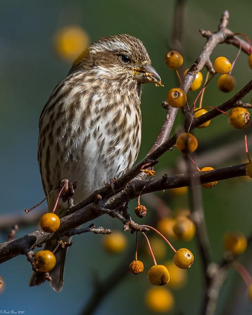 Munching on berries (Explored)