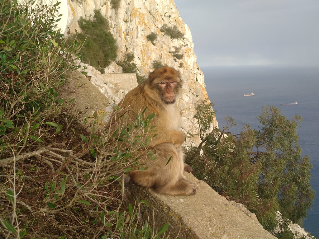 Barbary Macaque, Upper Rock Nature Reserve, Gibraltar