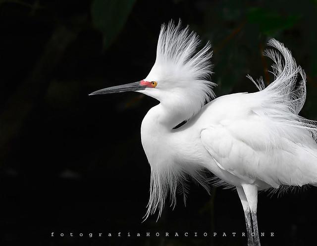 - GARCITA BLANCA (Egretta thula - Snowy egret )  toma LAGO DE REGATAS . Buenos Aires .Argentina.