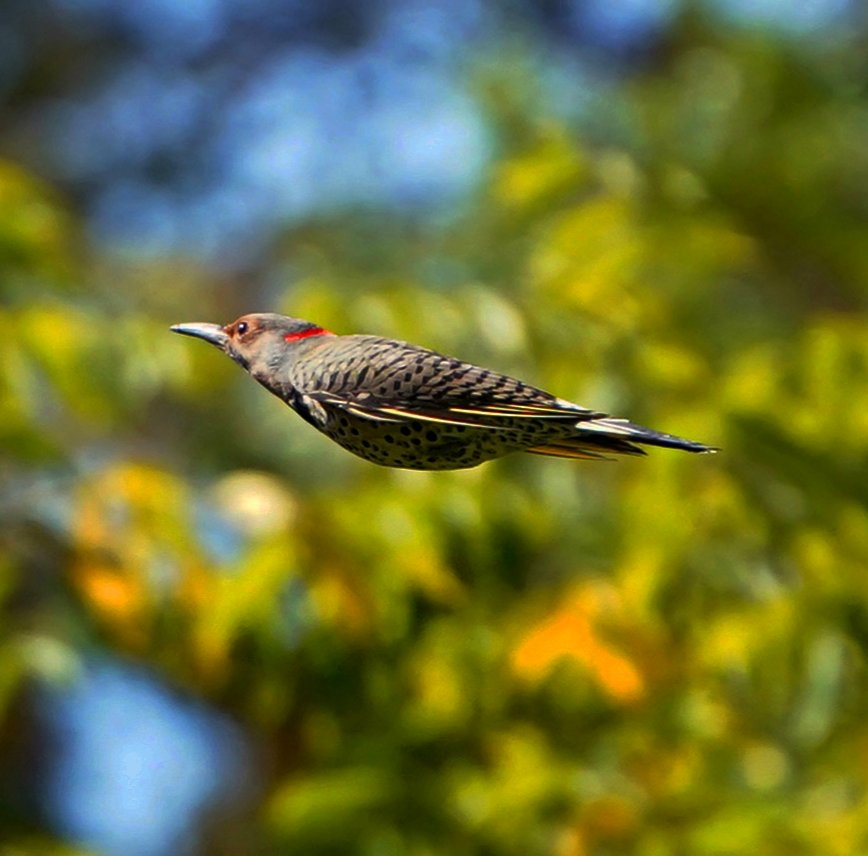 Northern Flicker bullet.