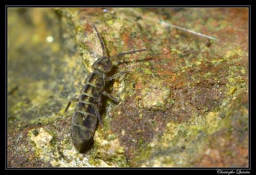 Isotomurus maculatus