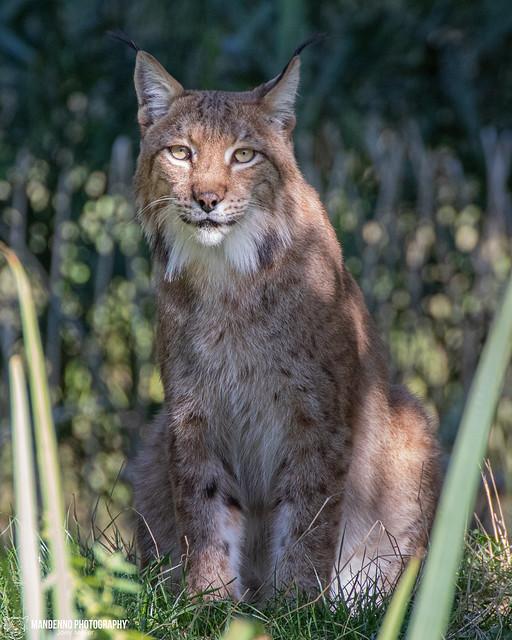 Eurasian Lynx - zoom erlebniswelt gelsenkirchen - Germany