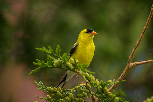 American Goldfinch   Cedar Tree Perch