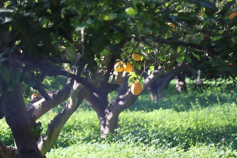 Oranges growing in Murcia