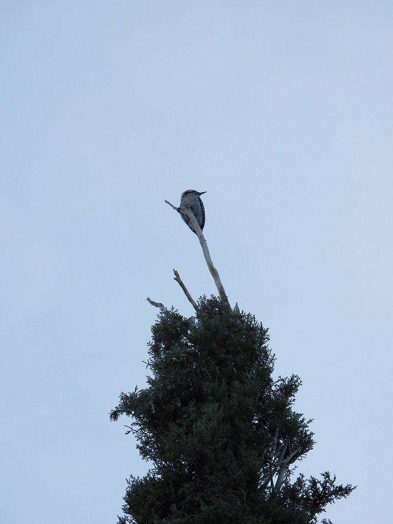 Woodpecker tree topper
