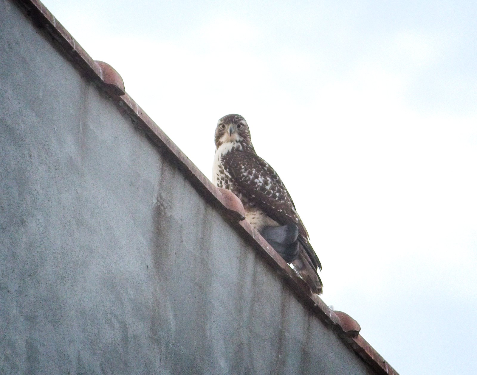 Immature red-tail with pigeon prey