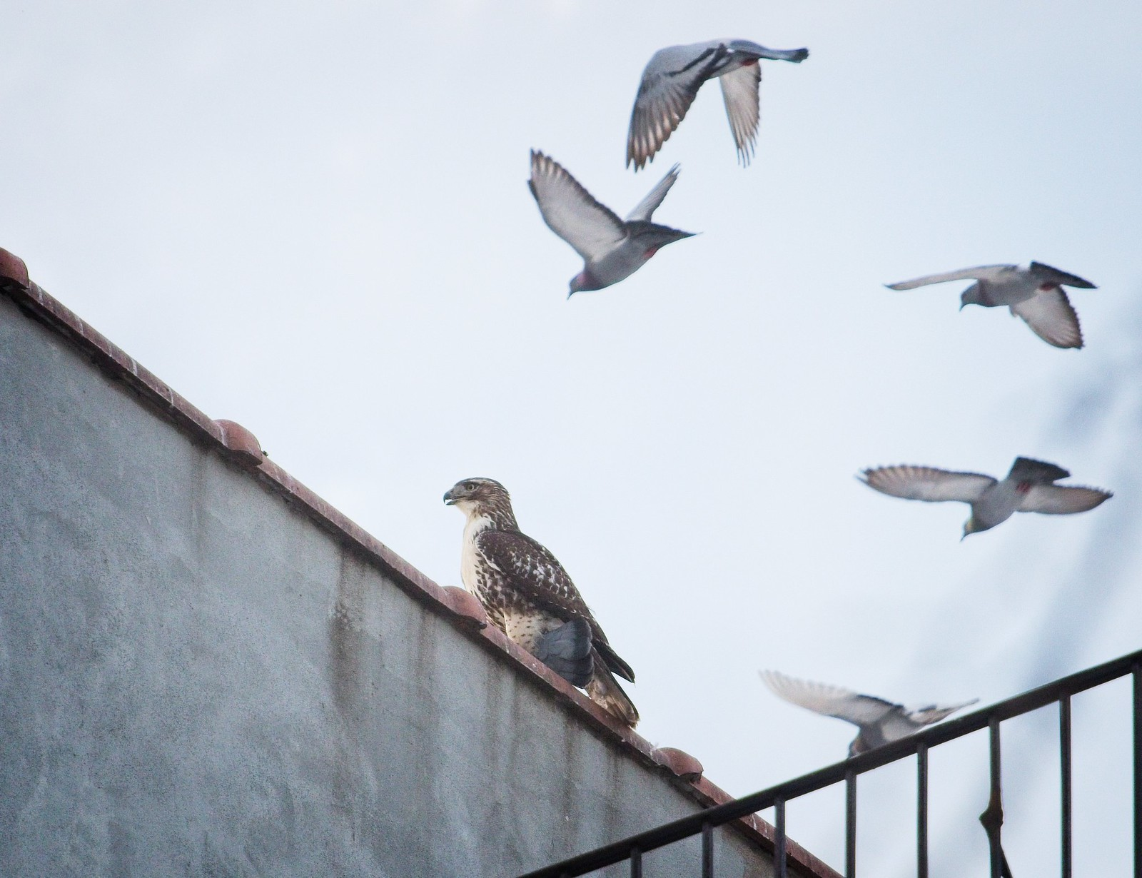 Immature red-tail with pigeons