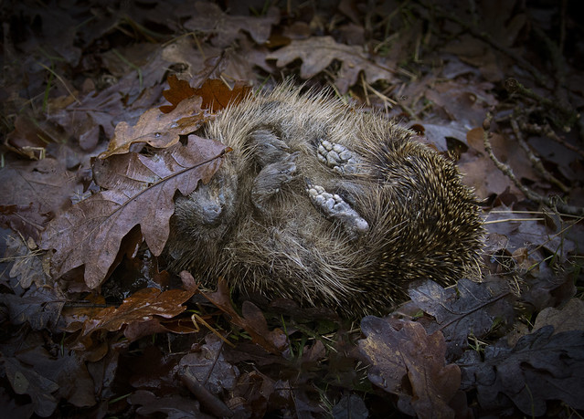 Hedgehog_7700