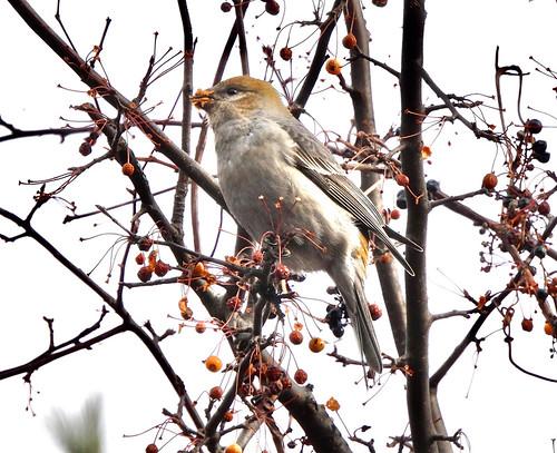Pine Grosbeak - Webster Park - © Candace Giles - Dec 16, 2020