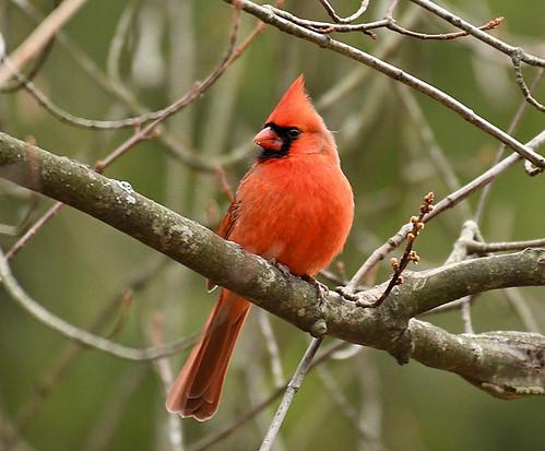 Northern Cardinal - Webster Park - © Alan Bloom - Dec 16, 2020