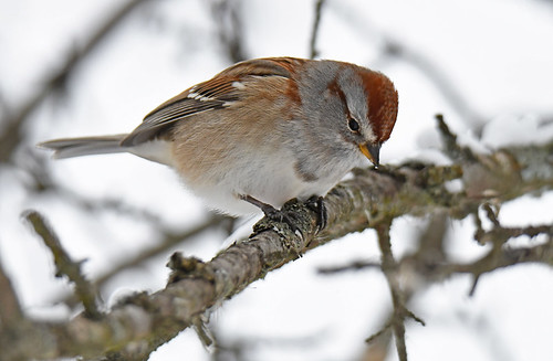 American Tree Sparrow - Mendon Ponds - © Dick Horsey - Dec 18, 2020