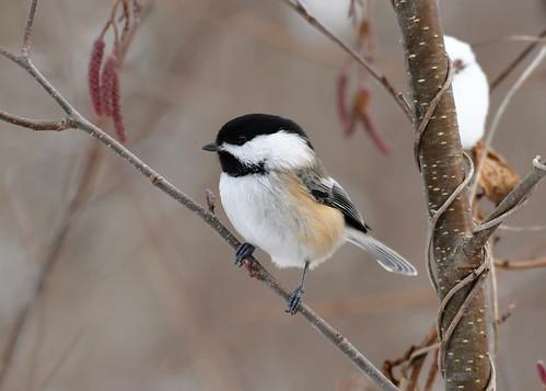 Black-capped Chickadee - Mendon Ponds - © Alan Bloom - Dec 19, 2020