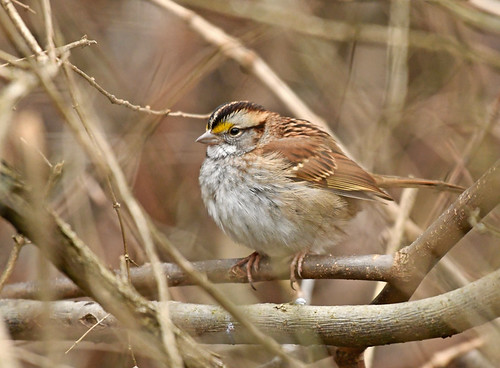 White-throated Sparrow - Webster Park - © Alan Bloom - Dec 16, 2020